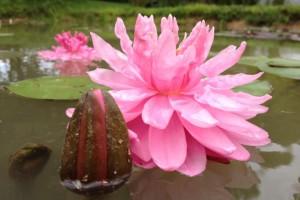 Купить нимфея Crazy Pom Pom (купить кувшинку, водяную лилию Крэзи Пом Пом)