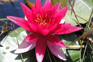 Купить нимфея Escarboucle (купить кувшинку, водяную лилию Эскарбукль)