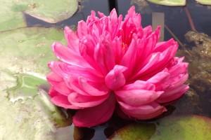 Купить нимфея Fuschia Pom Pom (купить кувшинку, водяную лилию Фушия Пом Пом)