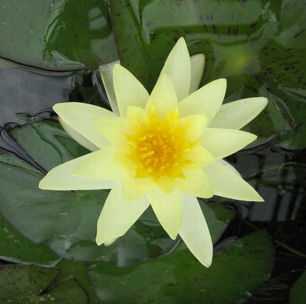 Купить нимфея Moorei (купить кувшинку, водяную лилию Мурей)
