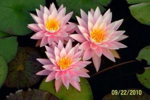 Купить нимфея Myra (купить кувшинку, водяную лилию Майра)