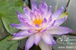 кувшинка Siam purple 1