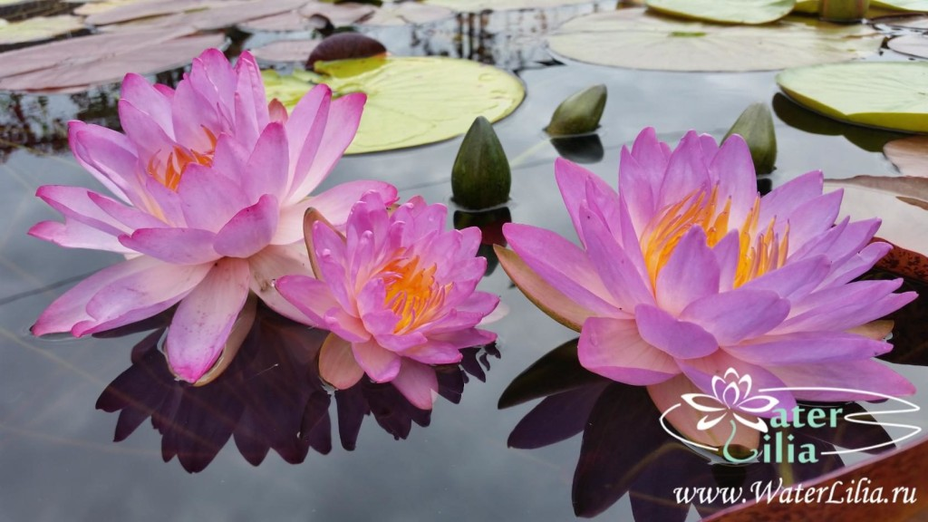 Купить нимфея Siam purple 1 (купить кувшинку, водяную лилию Сиам пурпл 1)