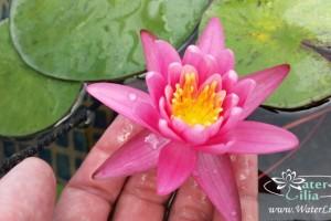 Купить нимфея Yuh Ling (купить кувшинку, водяную лилию Юх Линг)