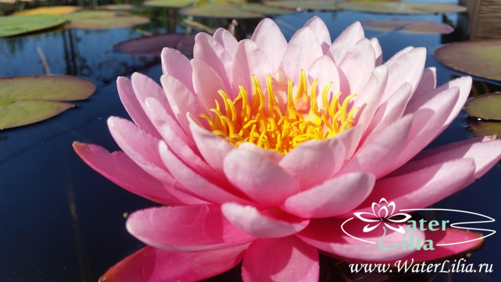 Купить нимфея Champoo Pairat (купить кувшинку, водяную лилию Шампу Пайрат)