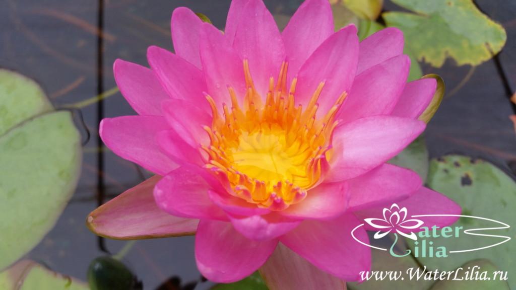 Купить нимфея Siam pink (купить кувшинку, водяную лилию Сиам пинк)