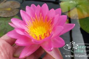 кувшинка Siam pink