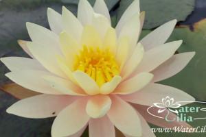 Купить нимфея Sunny Pink (купить кувшинку, водяную лилию Санни Пинк)