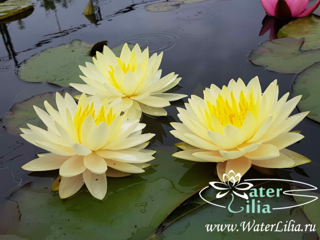 Купить нимфея Perry's Double Yellow (купить кувшинку, водяную лилию Перрис Дабл Елоу)