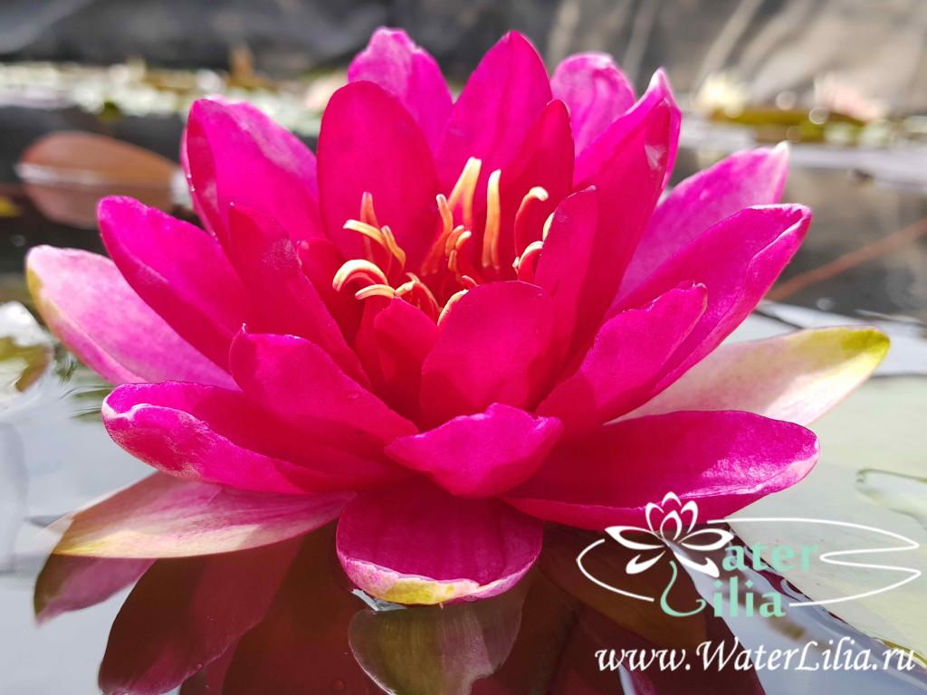 Купить нимфея Red Paradise (купить кувшинку, водяную лилию Рэд Парадайс)