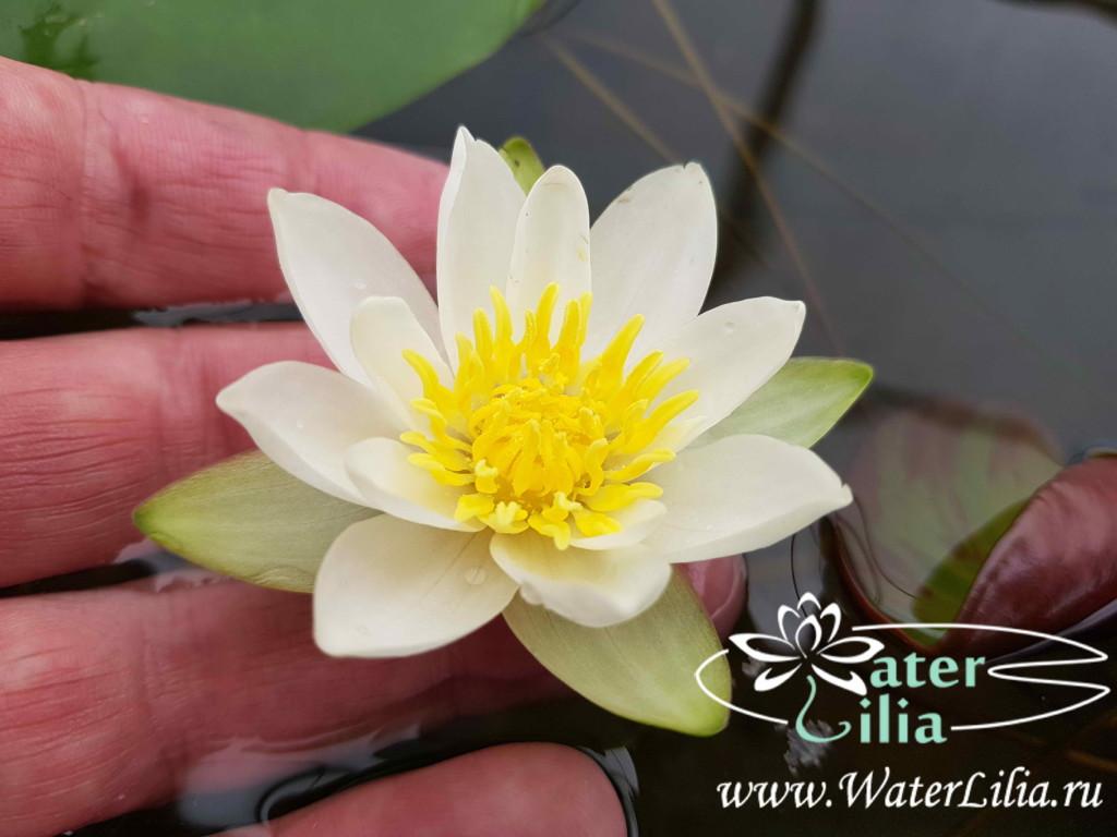 Купить нимфея Pygmaea Alba (купить кувшинку, водяную лилию Пигмея Альба)