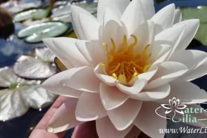 кувшинка Manee Siam