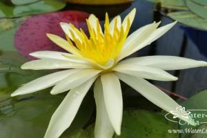 Купить нимфея Needle (купить кувшинку, водяную лилию Нидл, Игла)