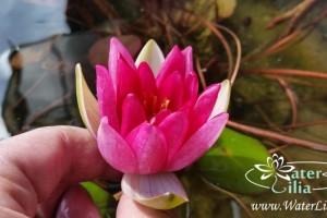 Купить нимфея Pygmaea Rubra (купить кувшинку, водяную лилию Пигмея Рубра)