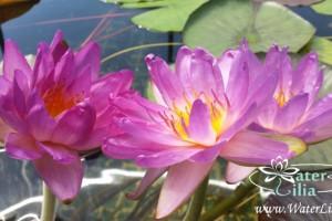 кувшинка Siam purple 2