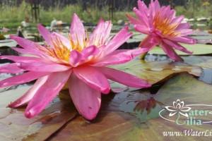 кувшинка Siam pink 2
