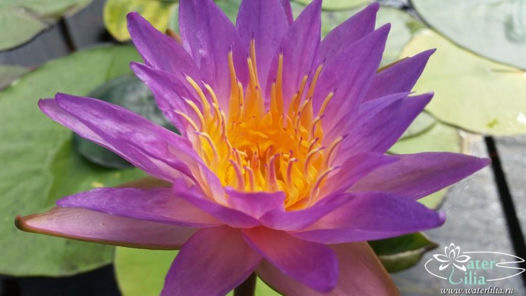 Купить нимфея Siam Marble (купить кувшинку, водяную лилию Сиам Марбл)