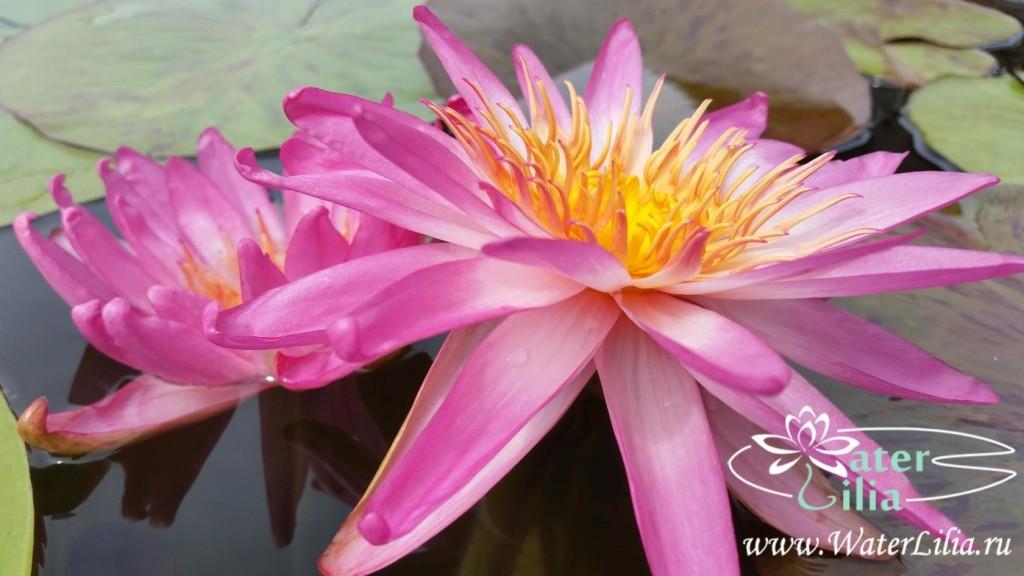 Купить нимфея Siam pink 2 (купить кувшинку, водяную лилию Сиам пинк 2)