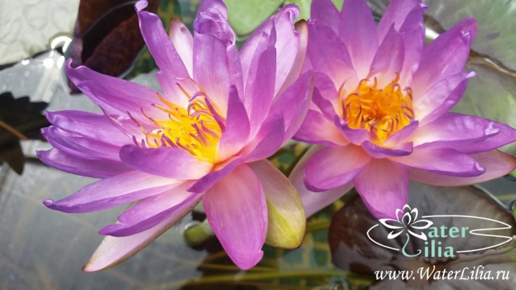 Купить нимфея Siam purple 2 (купить кувшинку, водяную лилию Сиам пурпл 2)
