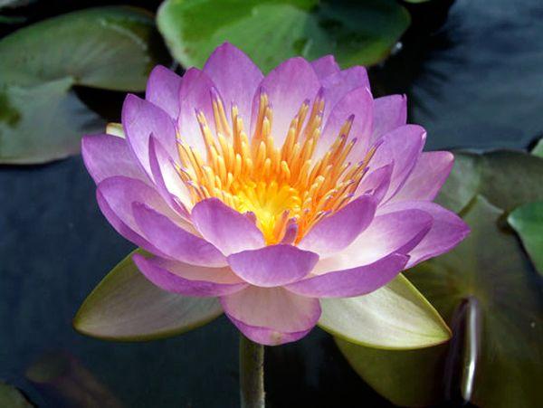 Купить нимфея Queen Sirikit (купить кувшинку, водяную лилию Квин Сирикит)