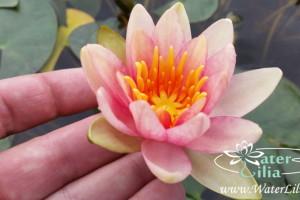 Купить нимфея Solfatare (купить кувшинку, водяную лилию Солфатаре)