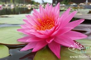 Купить нимфея Bua Rapee (купить кувшинку, водяную лилию Буа Рапи)