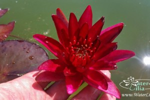 Купить нимфея William Falconer (купить кувшинку, водяную лилию Вильям Фалконер)