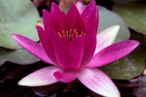 Купить нимфея Laydekeri Fulgens (купить кувшинку, водяную лилию Лайдекери Фулгенс)
