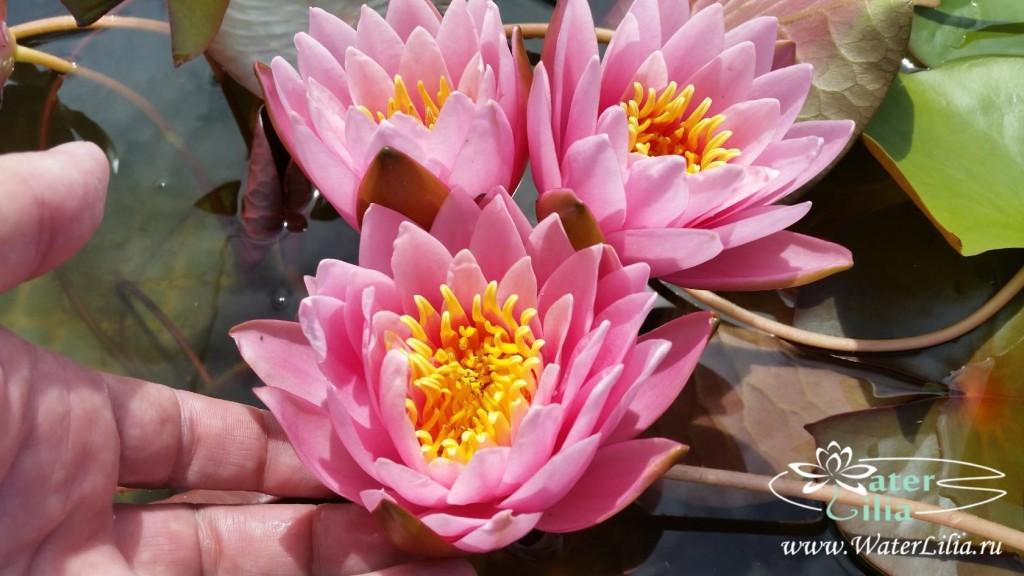 Купить нимфея Pink Beauty (купить кувшинку, водяную лилию Пинк Бьюти)