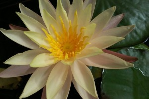 Купить нимфея Rasmitra (купить кувшинку, водяную лилию Расмитра)