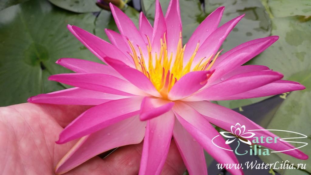 Купить нимфея Tropic Star (купить кувшинку, водяную лилию Тропик Стар)
