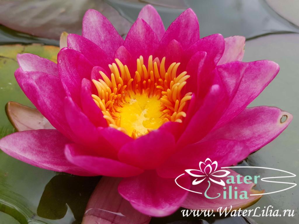 Купить нимфея Gloriosa (купить кувшинку, водяную лилию Глориоза)