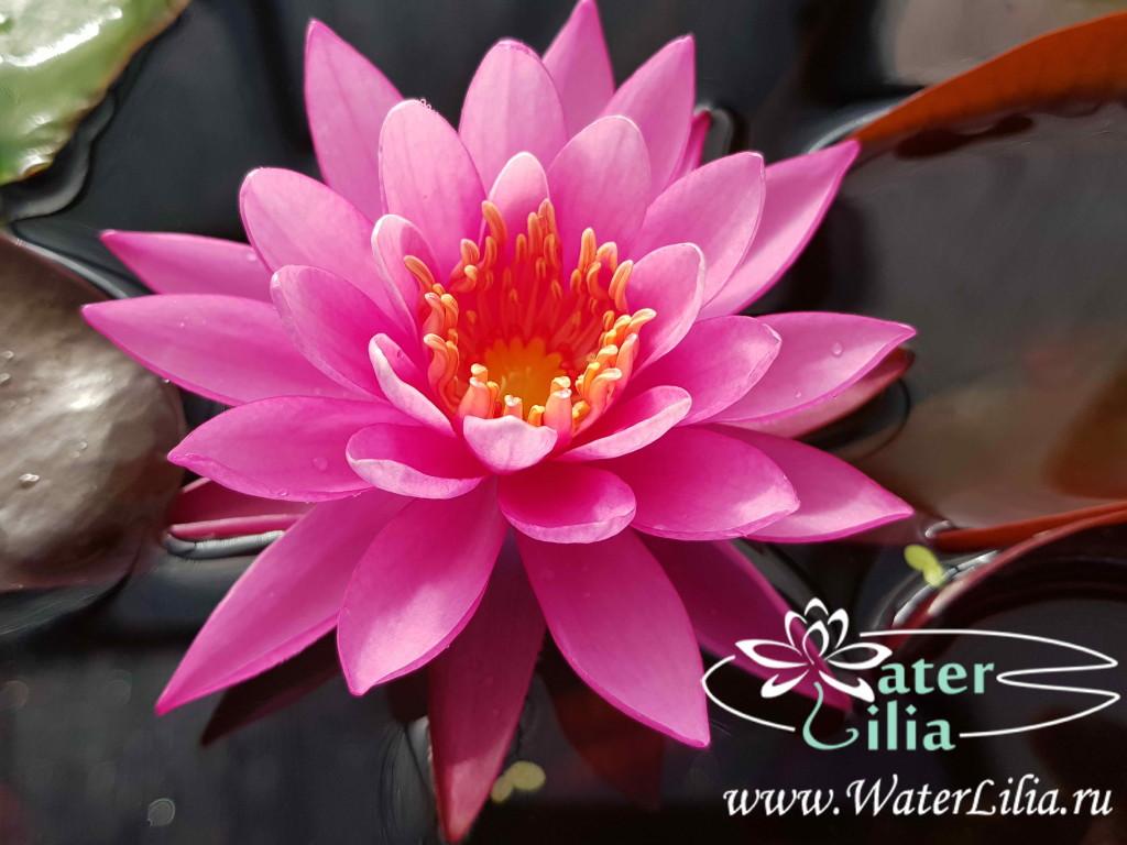Купить нимфея Angelique (купить кувшинку, водяную лилию Анжелик)