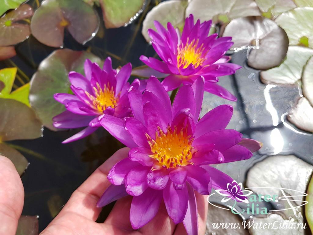 Купить нимфея Violicious (купить кувшинку, водяную лилию Виолишис)