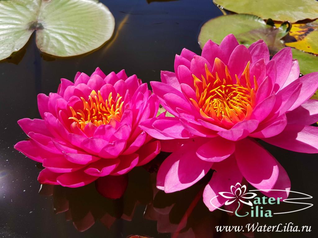 Купить нимфея Miss Siam (купить кувшинку, водяную лилию Мисс Сиам)