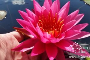 Купить нимфея Tan Khwan (купить кувшинку, водяную лилию Тан Кван)