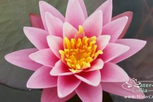 кувшинка Pink Beauty