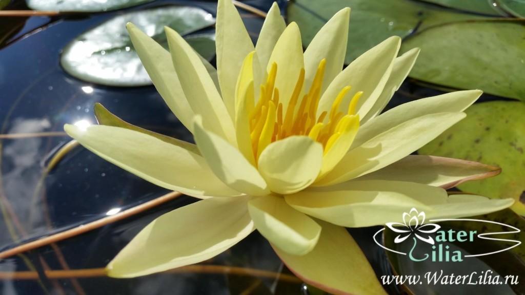 Купить нимфея Betsy Sakata (купить кувшинку, водяную лилию Бетси Саката)