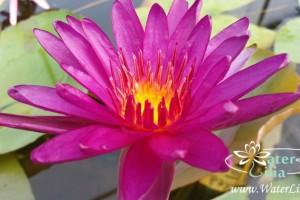 Купить нимфея Purple Fantasy (купить кувшинку, водяную лилию Пурпл Фэнтази)