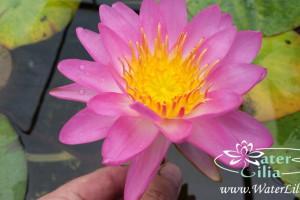 Нимфея Siam Pink