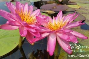 Нимфея Siam Pink 2