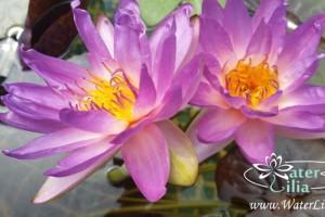 Нимфея Siam Purple 1