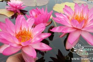 Уход за нимфеями, или как превратить свой пруд в цветущий рай!!!