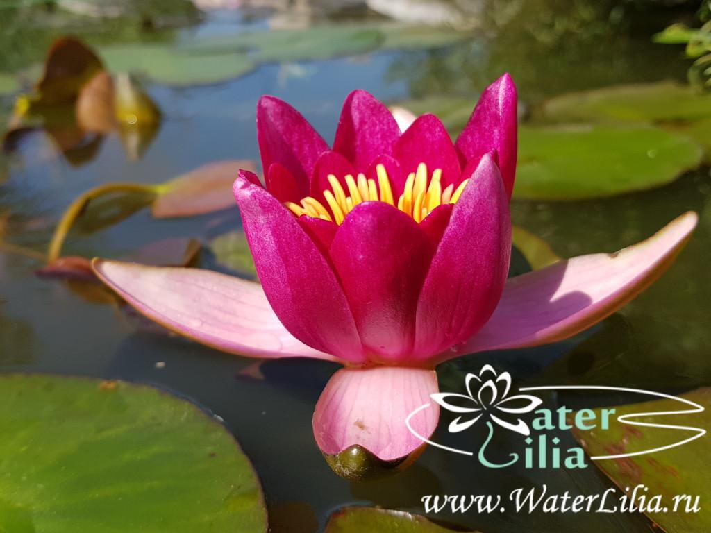 Купить нимфея Froebeli (купить кувшинку, водяную лилию Фроебели)
