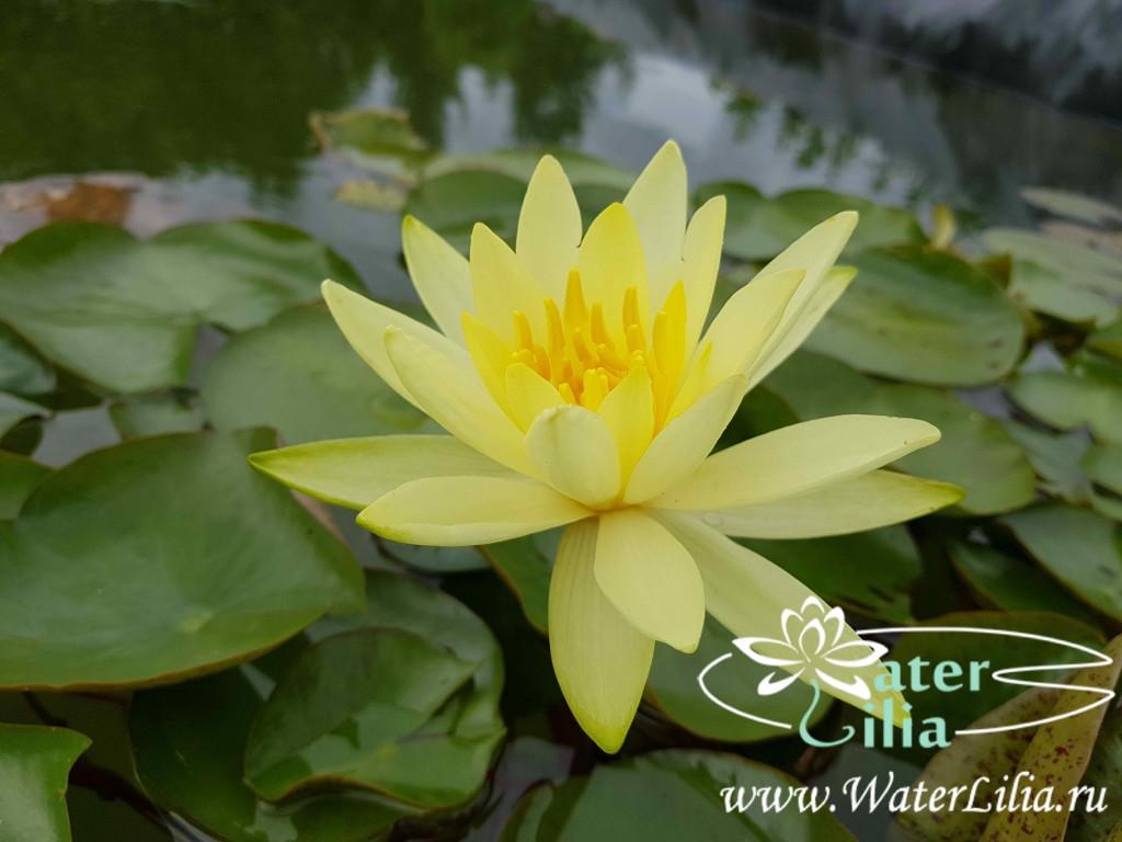 Купить нимфея Odorata Sulphurea (купить кувшинку, водяную лилию Одората Сулфурия)