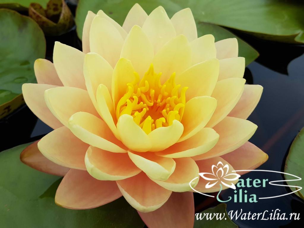 Купить нимфея Peace lily (купить кувшинку, водяную лилию Пис Лили)