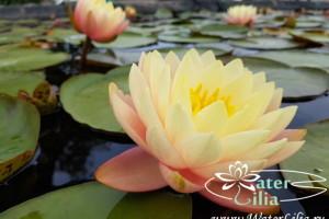 кувшинка Peace lily