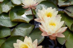 нимфея Peace lily