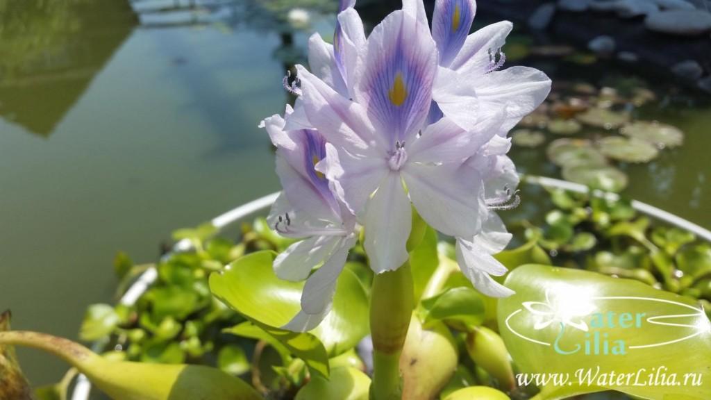 Купить водяной гиацинт — Эйхорния