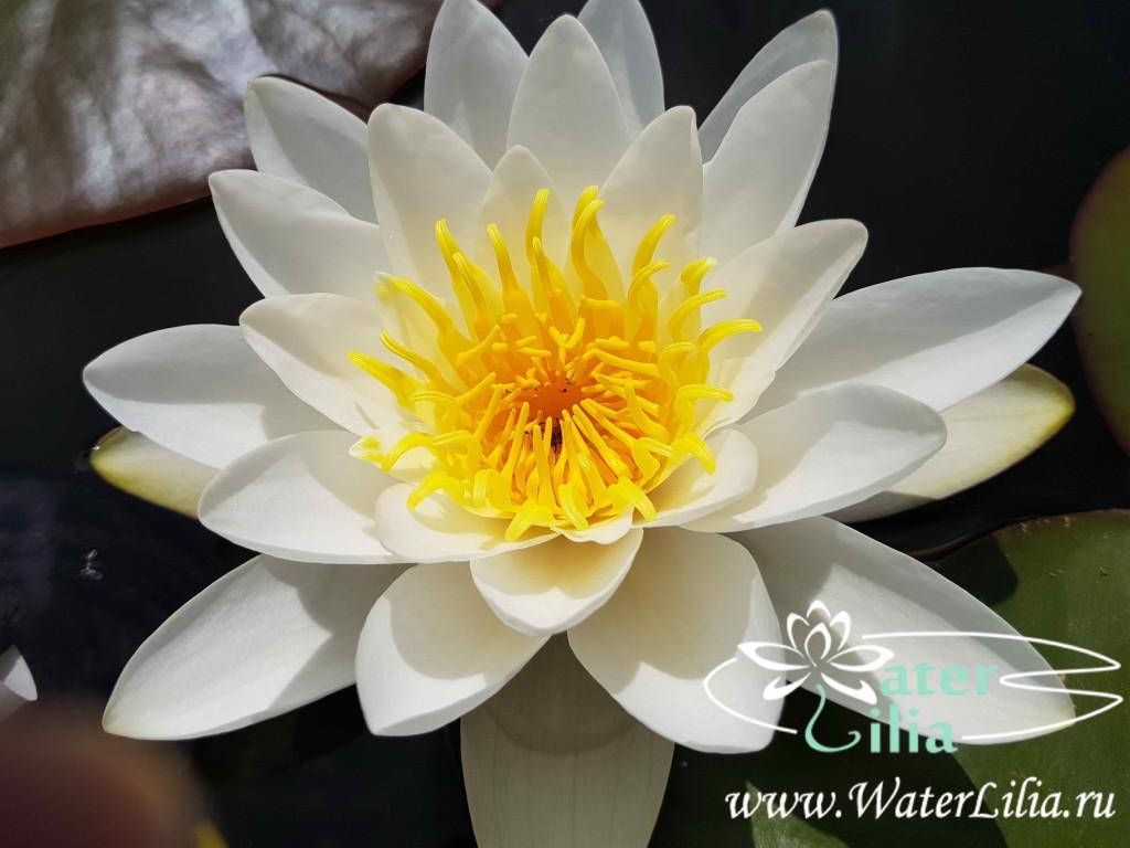 Купить нимфея Gladstoniana (купить кувшинку, водяную лилию Гладстониана)